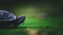 Baby Turtle On Moss In Nature