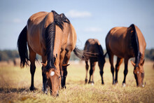 Horses Grazing In The Field. R...