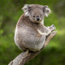 A Koala Perched On A Branch In A Forest Along The Great Ocean Road, Victoria, Australia