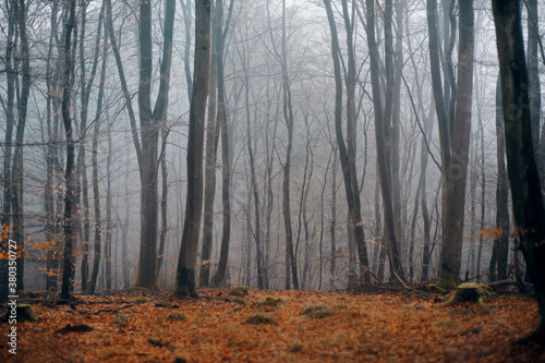 Fototapeta foggy forest in autumn. Landscape with woods, leaf fall obraz