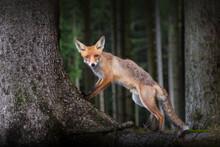 Aufmerksamer Fuchs