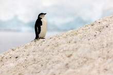 One Penguin Standing At The Ed...