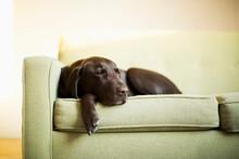 Chocolate Labrador Resting On ...