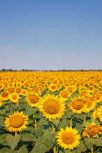 Filed Full Of Sunflowers With ...