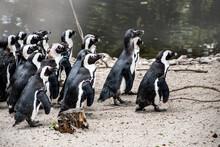 Magellan Penguins (order Sphen...