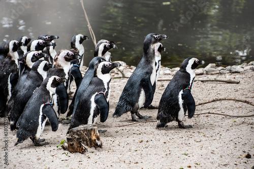 Vászonkép Magellan Penguins (order Sphenisciformes, family Spheniscidae) are a group of aq