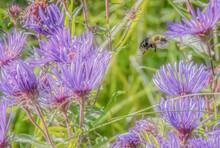 Bumble Bee Flying Among Purple...