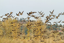 A Flock Of Canada Geese Just T...