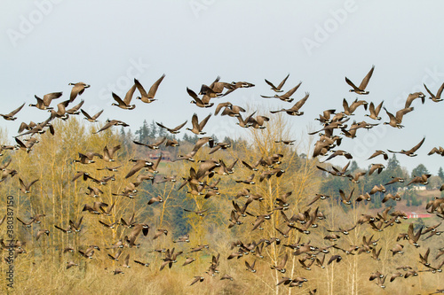 A flock of Canada Geese just taking flight from a pond at Ankeny Wildlife Refuge Canvas