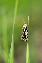 Motyl w czarno białe paski polnica szachowniczka - acontia trabealis