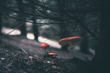 Fly Agaric Mushroom In Forests