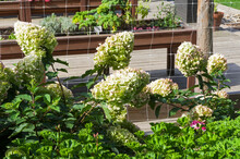 Blooming Panicle Hydrangea