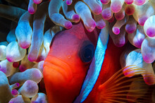 Dusky Anemonefish (Amphiprion ...