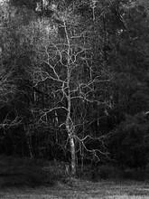 Dead Tree In The Open B&W