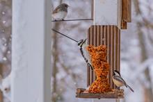 Woodpecker, Chickadee And Titmouse Birds Perched On Suet Bird Feeder In Winter