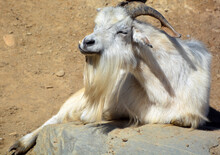 The Domestic Billy Goat Or Simply Goat (Capra Aegagrus Hircus) Is A Subspecies Of C. Aegagrus Domesticated From The Wild Goat Of Southwest Asia And Eastern Europe.