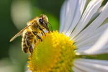 Honey Bee Collects Nectar And ...