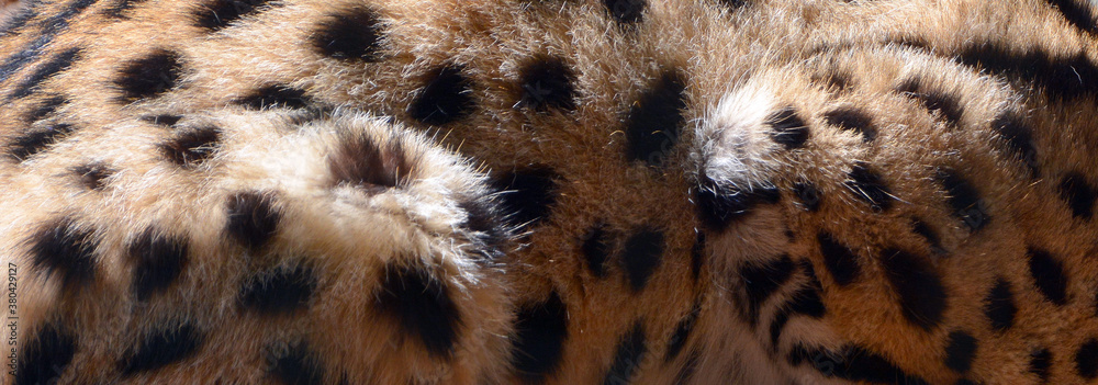Fototapeta The serval skin is a wild cat native to Africa. It is rare in North Africa and the Sahel, but widespread in sub-Saharan countries except rainforest regions.