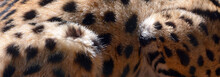 The Serval Skin Is A Wild Cat Native To Africa. It Is Rare In North Africa And The Sahel, But Widespread In Sub-Saharan Countries Except Rainforest Regions.