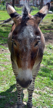 Close Up Of Zebroid Is The Offspring Of Any Cross Between A Zebra And Any Other Equine To Create A Hybrid