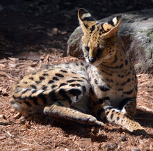 The Serval Is A Wild Cat Nativ...