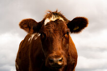 An Image Of A Dairy Cow Facing...