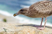 Young Seagull (Larus Argentatus) Eats Cookies.