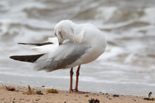Seagull Preening Her Feathers On The Beach