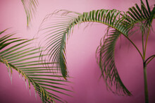 Simple Palm Tree Curved Leaves And Bright Pink Concrete Wall Background
