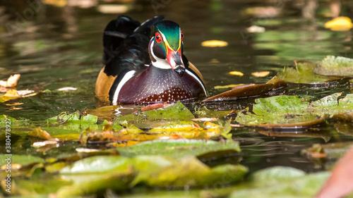 Fotografija Wood ducks on the lake