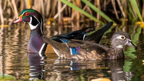 Wood ducks on the lake Fototapeta