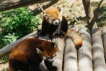 Two Red Panda, Firefox Or Lesser Panda (Ailurus Fulgens)