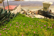 A Lush Green Hillside Covered With Pink And Yellow Carpobrotus Or Ice Plant Flowers With Rocks, Ocean Water And A Life Guard Station At The Beach At South Oceanside Beach In Oceanside  California