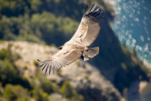Andean Condor Flying Over The ...