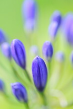 Close Up Of A Blue Agapanthus Flower