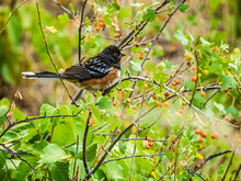 Spotted Towhee Perched In Branches Of A Berry Bush Near The Audubon Center At Chatfield SP, Colorado