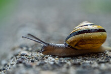 Close Up Of A Big Snail Moving...