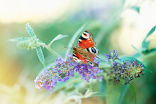Butterfly Perching On Purle Buddleia Flower And Sunshine