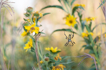 Golden Orb Weaver Spider And Web Among Sunflowers