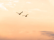 Two White Pelicans Flying In A...