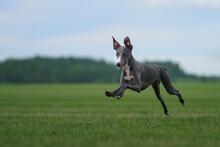 Greyhound Dog Runs On The Lawn...