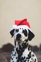 Dalmatian Dog Wearing A Christmas Hat
