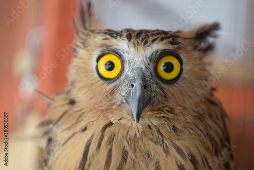 Eagle owl with blur background Fototapet
