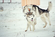 Siberian Husky On The Snow