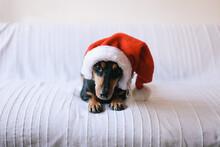 Small Black Dog Wearing Santa Claus Hat