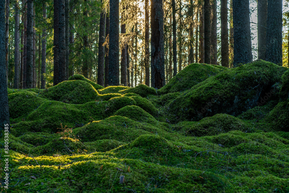 Fototapeta Fresh green moss covering the floor of a fir and pine forest in Sweden