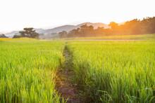 Green Rice Fields At Sunrise