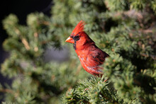 A Norther Cardinal Perched In A Pine Tree.