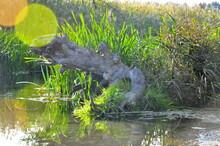 Alligator In The Swamp