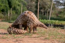 Indian Pangolin Or Anteater (M...